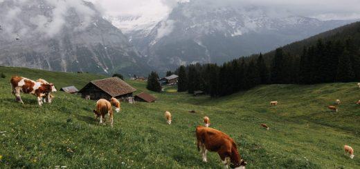 Tarımda Ve Hayvancılıkta Potasyum Permanganat Kullanımı